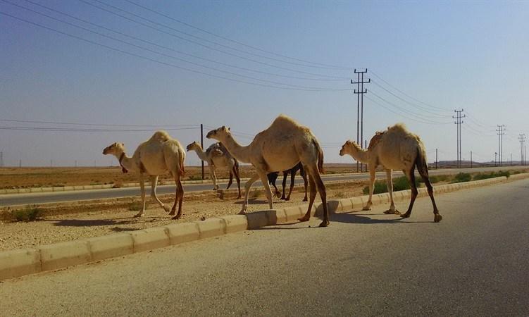Autostrada Giordania cammelli
