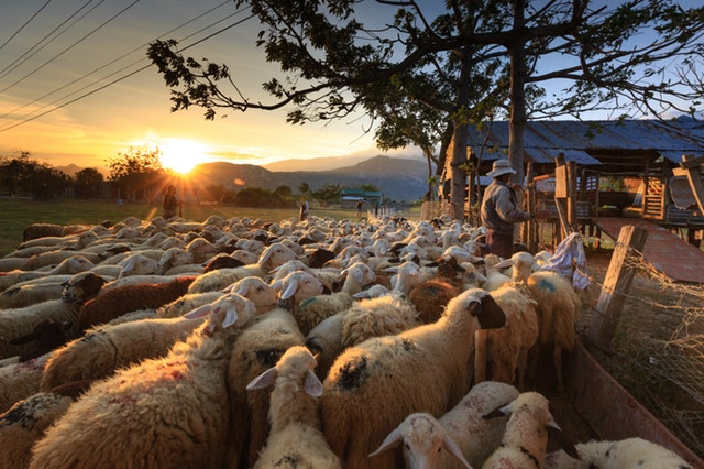 herd-of-sheep-on-focus-photography-2148933