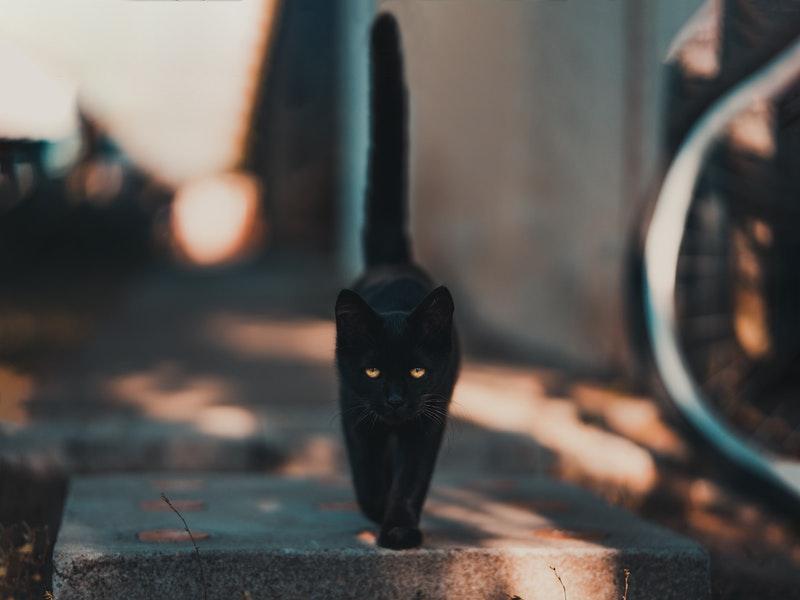 pexels-david-bartus-black cat