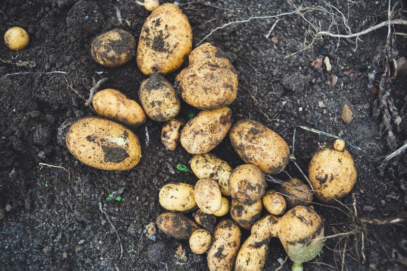 Proverbi irandesi patate